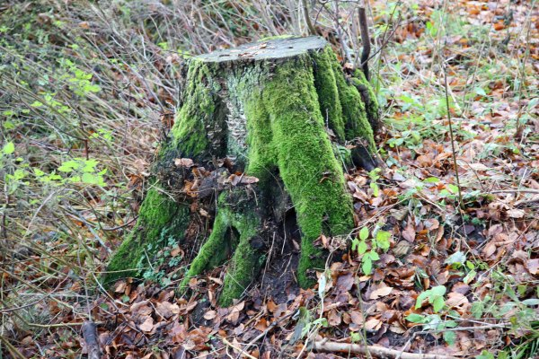Stump with moss in fall wood Photo Marina Aagaard