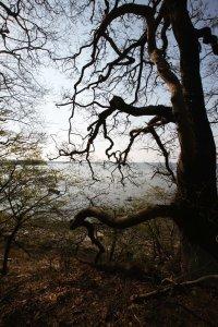 Kaloe kroget tree