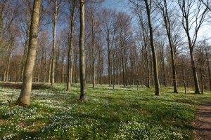 Kaloe skovbund blomsterdaekke